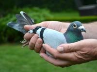 Chris Hebberecht pigeon 18-2096571