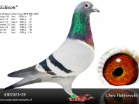Chris Hebberecht pigeon BE10-4302413