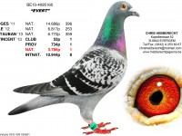 Chris Hebberecht pigeon BE10-4095160