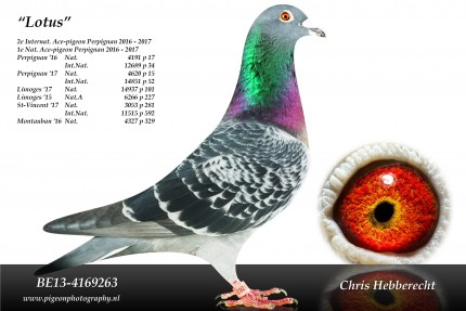 Chris Hebberecht pigeon BE13-4169263