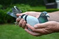 Picture of Chris Hebberecht pigeon 18-2096571