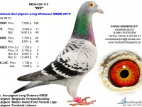 Chris Hebberecht pigeon BE08-4351119