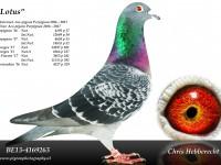 Chris Hebberecht pigeon BE13-4169263