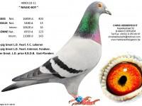 Chris Hebberecht pigeon BE11-4090110